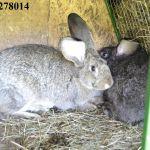 Продаю кроликов Бахчисарайский район. +79788278014