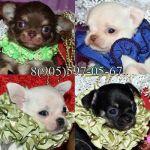 Чихуахуа красивые щенки редких окрасов