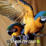 """""""Голубое золото"""" - сине желтый ара (ara ararauna) - ручные птенцы из питомников Европы"""