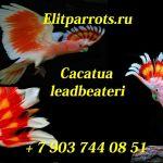 Какаду инка cacatua leadbeateri птенцы из питомников европы.