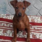 Цвергпинчер щенки 4 месяца рыжие мальчики. Киев.Прекрасная собачка для квартиры!