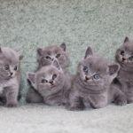 Клубные котята британской породы