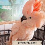 Молуккский какаду cacatua moluccensis - ручные птенцы
