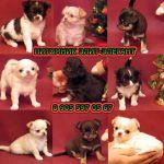 Чихуахуа чудесные щенки, фото-продажа