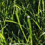 газонная трава канада грин