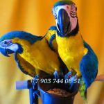 Сине желтый ара (ara ararauna) - абсолютно ручные птенцы из питомников Европы