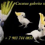 Желтохохлый какаду cacatua galerita triton ручные птенцы